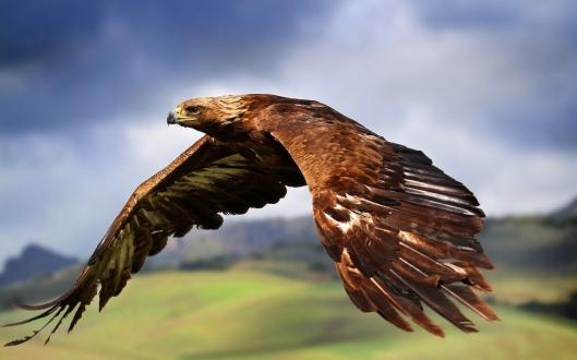 Golden Eagle credit: adlayasanimals.wordpress.com
